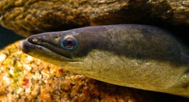 Electric Eels Surround Prey to Double the Shock Value