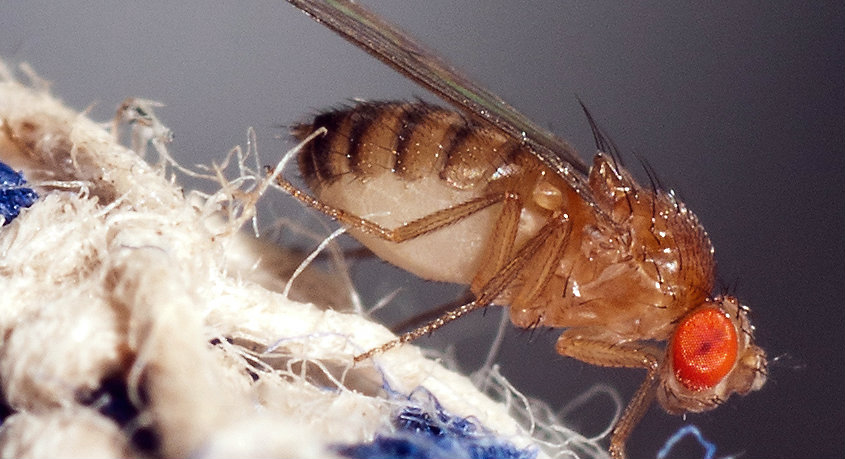 Massive evolutionary breakthrough in Fruit Flies could crack the code on cancer