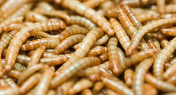 Scientists astonished to find Mealworms can eat plastic trash