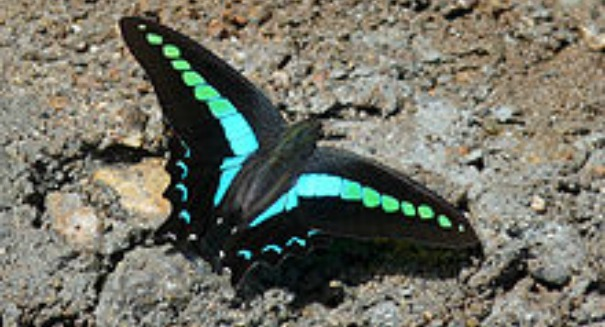 Incredible discovery about Swallowtail Butterfly's eyes surprises scientists