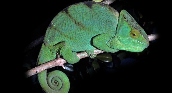 The shocking truth about the chameleon