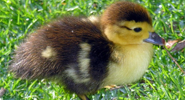 The shocking truth about baby ducks