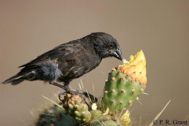Beak size matters as Darwin's finches continue to evolve
