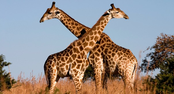 Giraffes are in huge trouble