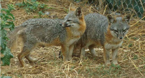 California's island foxes shock scientists