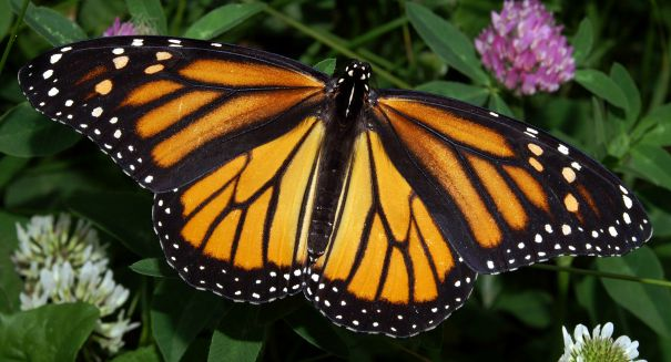 Scientists stunned to find Monarch butterflies exploding in Mexico