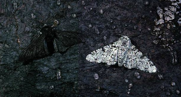 Astonishing secret of mysterious moth revealed