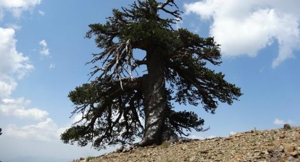 Scientists have just discovered the oldest living thing in Europe