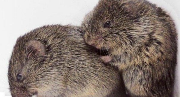 Furry little prairie voles cuddle when they're stressed